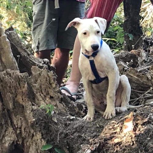 Snoop - Bull Arab Dog