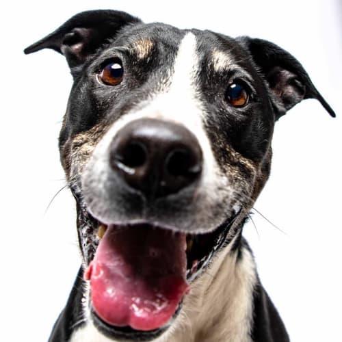Shango - Bull Terrier x American Staffordshire Bull Terrier Dog