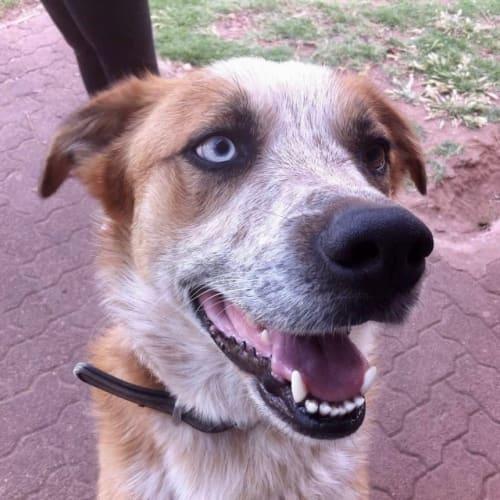 Buckley - Australian Cattle Dog x Border Collie Dog