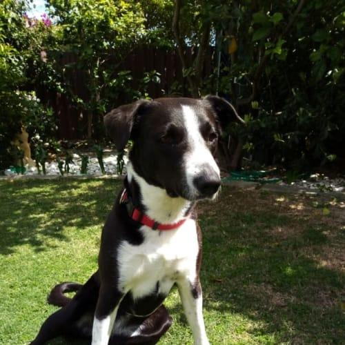 Millar  - Border Collie Dog