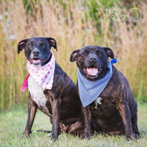 Izzy and Hugo 🐳🐋 - Staffordshire Bull Terrier Dog