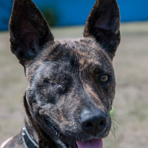 Peanut - Australian Cattle Dog x English Staffordshire Bull Terrier Dog