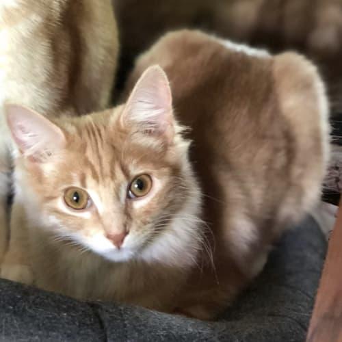 Ruby (Located in Rowville) - Domestic Medium Hair Cat