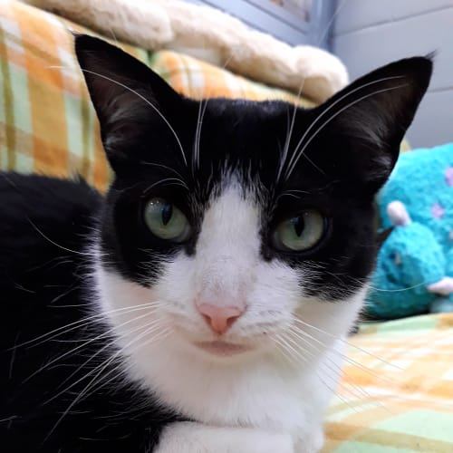 Bethany - Domestic Short Hair Cat