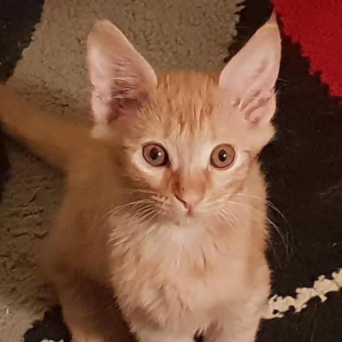 Grover - Domestic Short Hair Cat