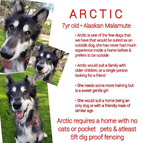❤🐾Arctic🐾❤ - Alaskan Malamute Dog