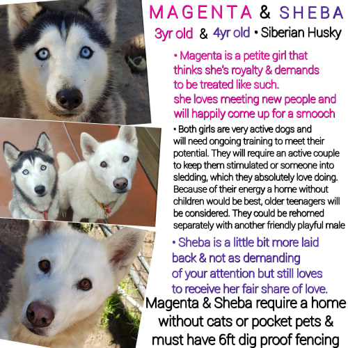 ❤🐾Magenta and Sheba🐾❤ - Siberian Husky Dog