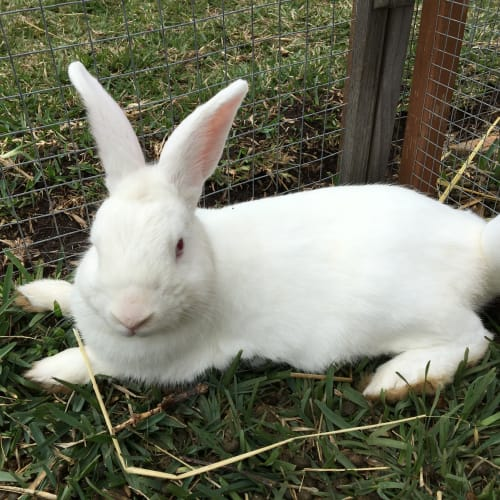 Kasper  - Dwarf Rabbit