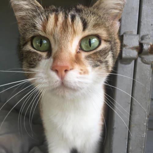 Missy (CaV18-163) - Domestic Short Hair Cat