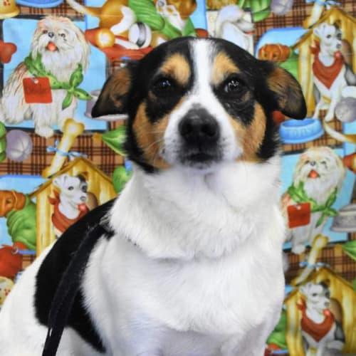 Hugo - Jack Russell Terrier Dog