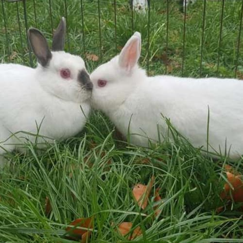 Snowflake & Bluebelle  - Netherland Dwarf Rabbit