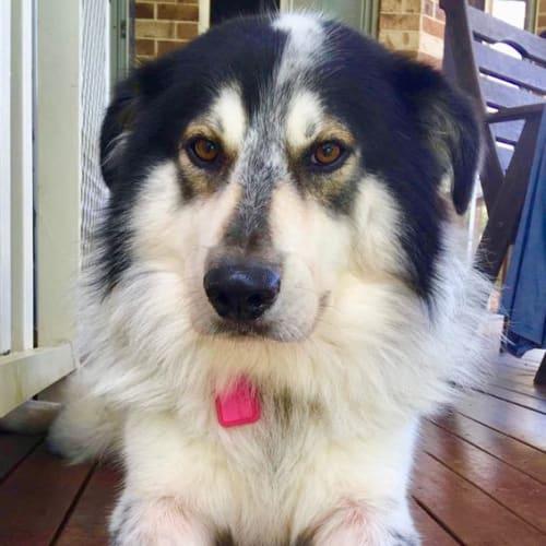 Buster - Border Collie x Maremma Sheepdog