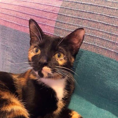 Kenya  - Domestic Short Hair Cat