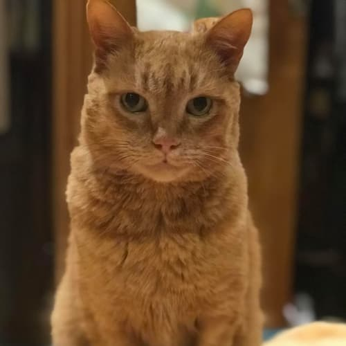 Ed (Located in Caulfield North) - Domestic Short Hair Cat