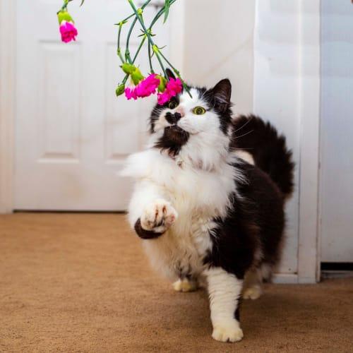 Felix ~ stunning 9 year old cat - Domestic Medium Hair Cat