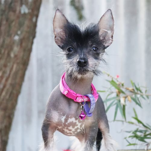 Maris - Chinese Crested Dog