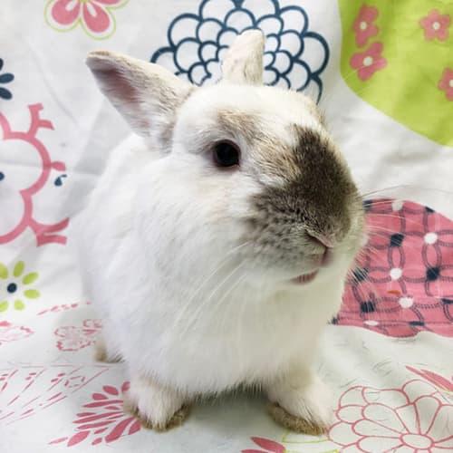 Ollie -  Rabbit