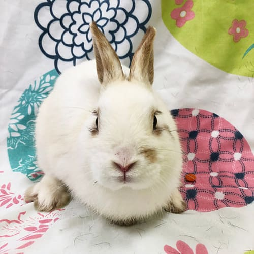 Comet -  Rabbit