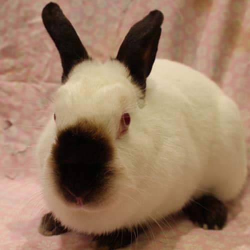 Poppy (Vib) -  Rabbit