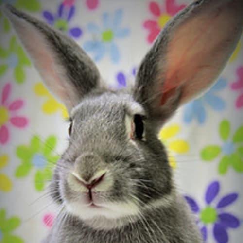 Stella (Vib) -  Rabbit