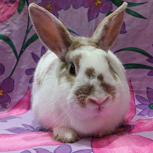 Genevieve -  Rabbit