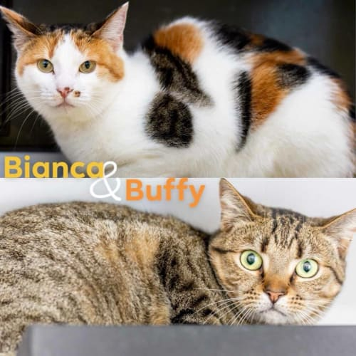 AC0561/AK1337 - Bianca & Buffy - Domestic Short Hair Cat