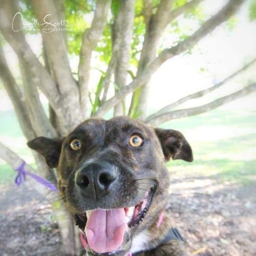 Indigo 💃 - Australian Shepherd x Bull Terrier Dog