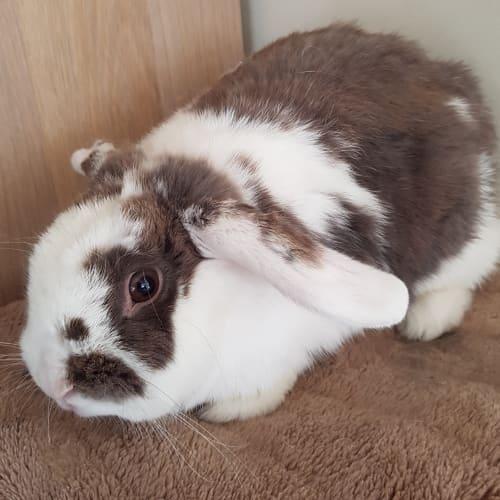 Suki - Dwarf lop Rabbit