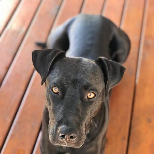 Harley ~ 3 year old Staffy x - Staffy Dog