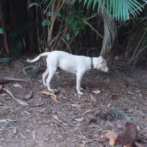 BB  - Bull Arab Dog