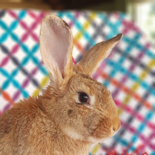 Jaffa  - Flemish Giant Rabbit