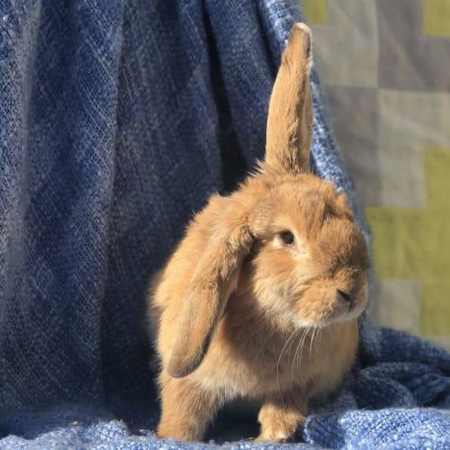 Ed - Lop Eared Rabbit