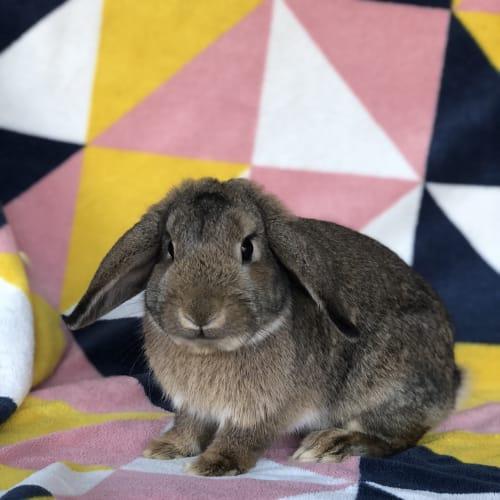 River  - Mini Lop Rabbit
