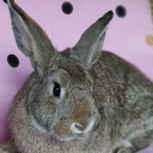 Helen - Domestic Rabbit