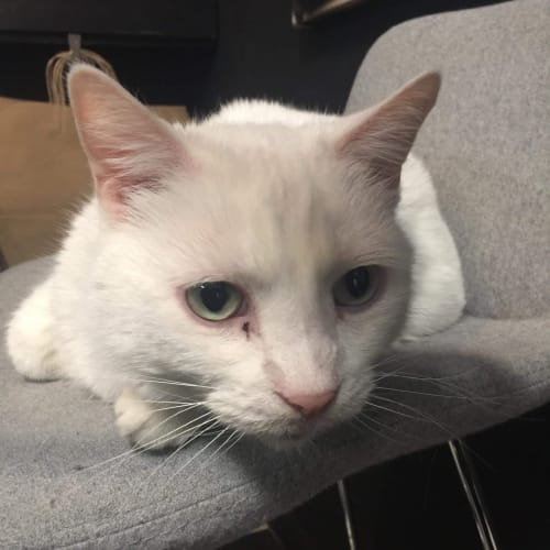 Marsha - Located in Preston - Domestic Short Hair Cat