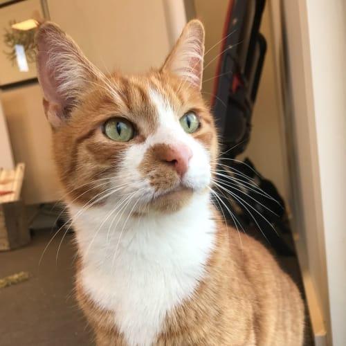 Chet - Domestic Short Hair Cat