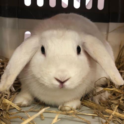 Rain - Lop Eared Rabbit