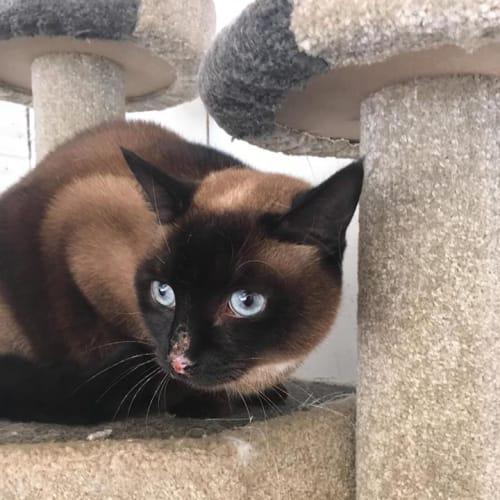 Ruby-Lou  (CaV18-309) - Burmese x Ragdoll Cat