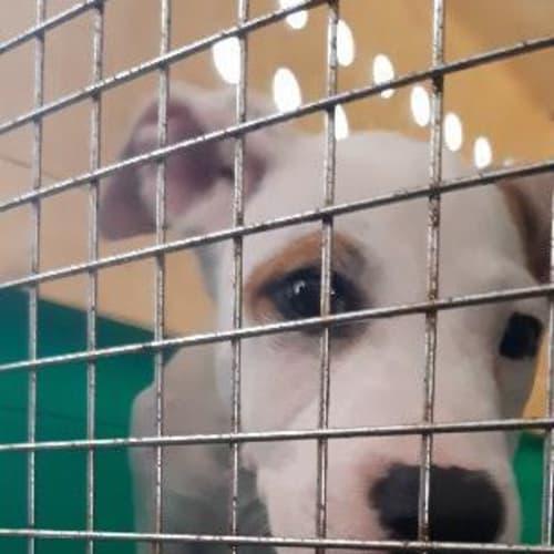 Bradley - Cross breed Dog