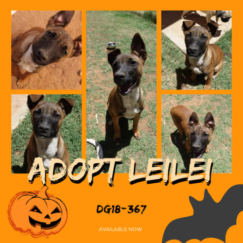 Leilei  DG18-367 - Australian Cattle Dog x Kelpie x Mixed Breed Dog