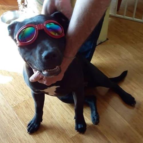 Layla - Staffordshire Bull Terrier Dog