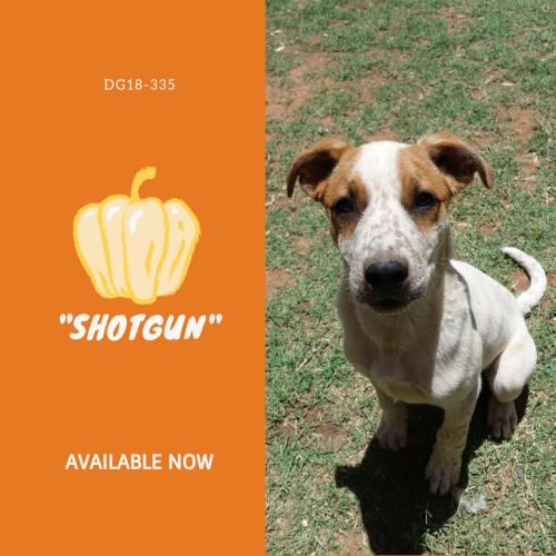 Shotgun  DG18-335 - Australian Cattle Dog x Mastiff x Mixed Breed Dog