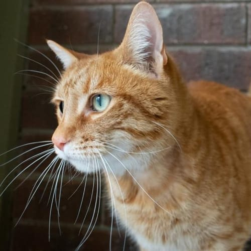 Austin (aussie) - Domestic Short Hair Cat