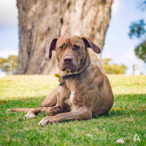 skye - Cross breed x American Staffordshire Bull Terrier Dog
