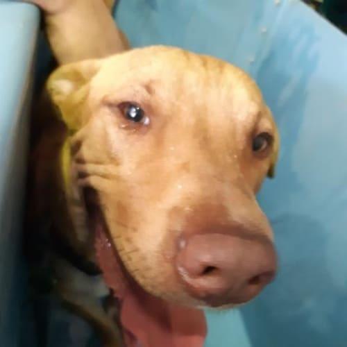 Oswald - Bull Terrier Dog