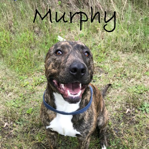 Murphy - American Staffordshire Bull Terrier Dog