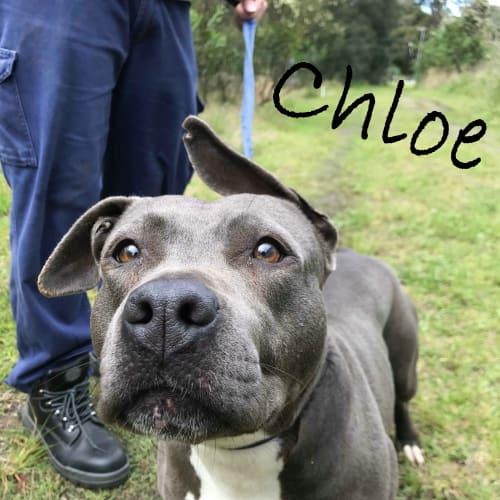 Chloe - American Staffordshire Bull Terrier Dog