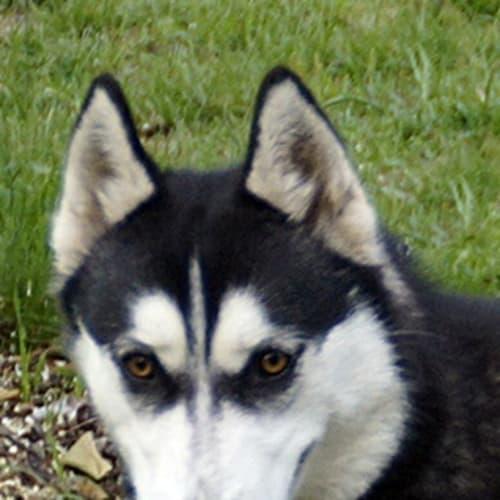 Chelsea - Siberian Husky Dog