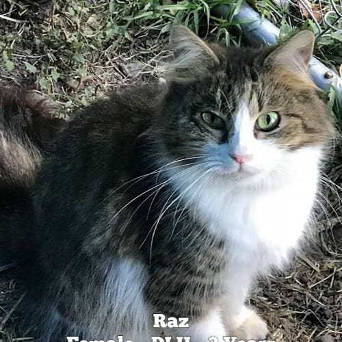 Raz - Domestic Long Hair Cat