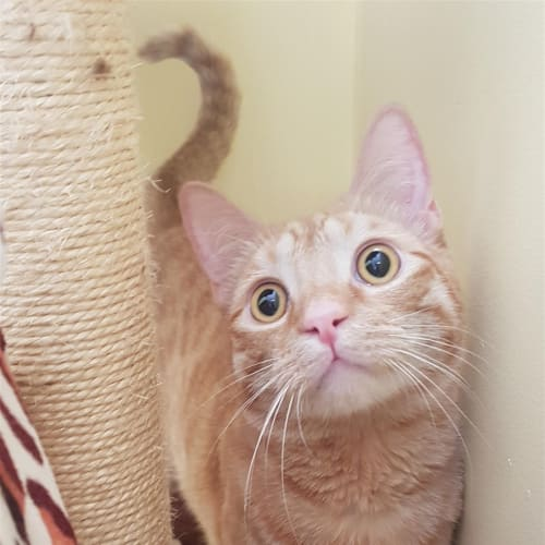 Ligi - Domestic Short Hair Cat